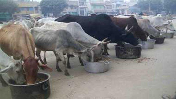cow bhilai
