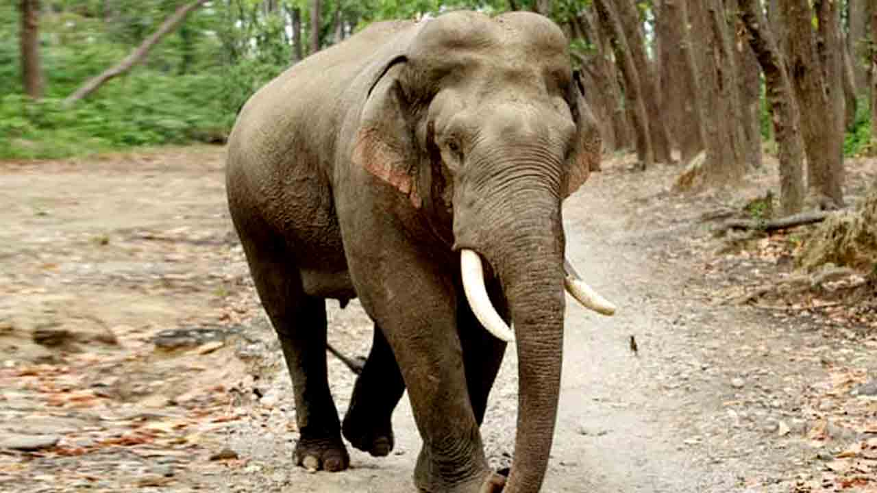 Question on utility of kumki elephants